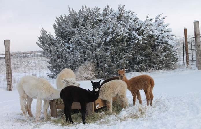 Alpacas Barbara & Friends