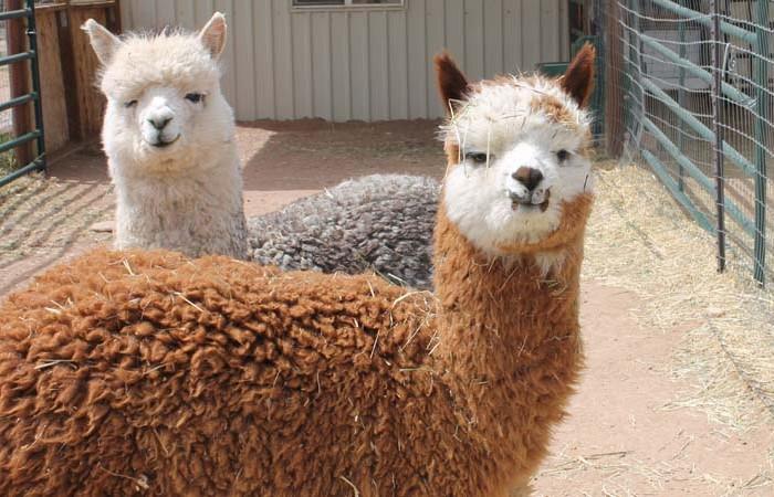 Alpacas Silver Titan & Barbicus
