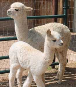 2015 Alpaca Crias Sherman and Nellie