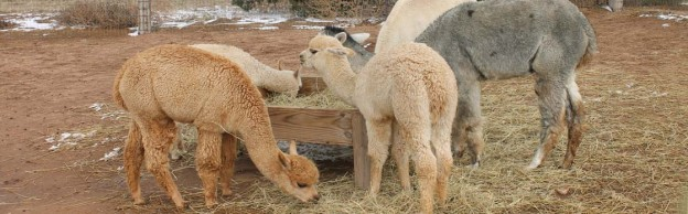 Alpacas in Early Snowfall