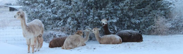 Alpaca Girls in Snow
