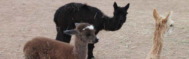 baby alpacas again