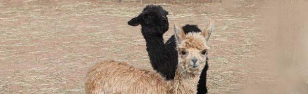 Newborn Suri Crias Tess and Peggy