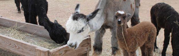 Alpacas Cindy and Mom Feeding