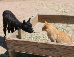 Alpaca suri cria Peggy meets Garfield the cat
