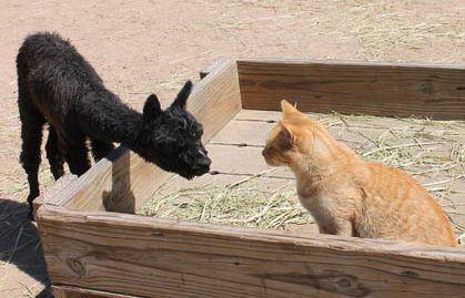 Alpaca suri cria Peggy meets Garfield the cat