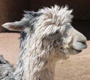 Lotus Head grey suri alpaca
